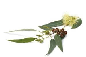 eukalptusz2